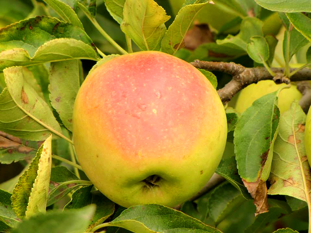 Apple-ready-to-be-picked-tree