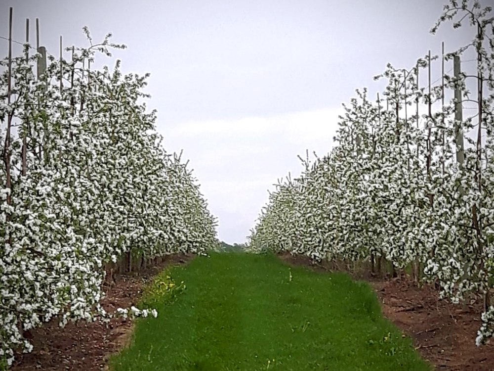 apple-blossom-orchard