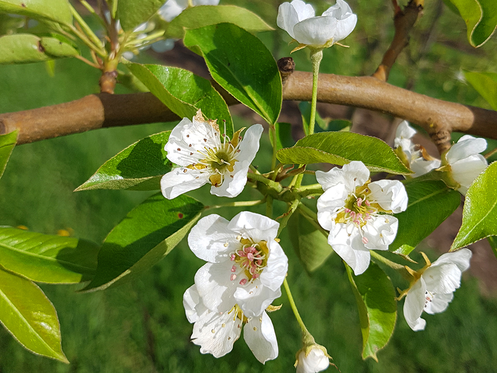 apple-blossoming-flowers-and-leaves